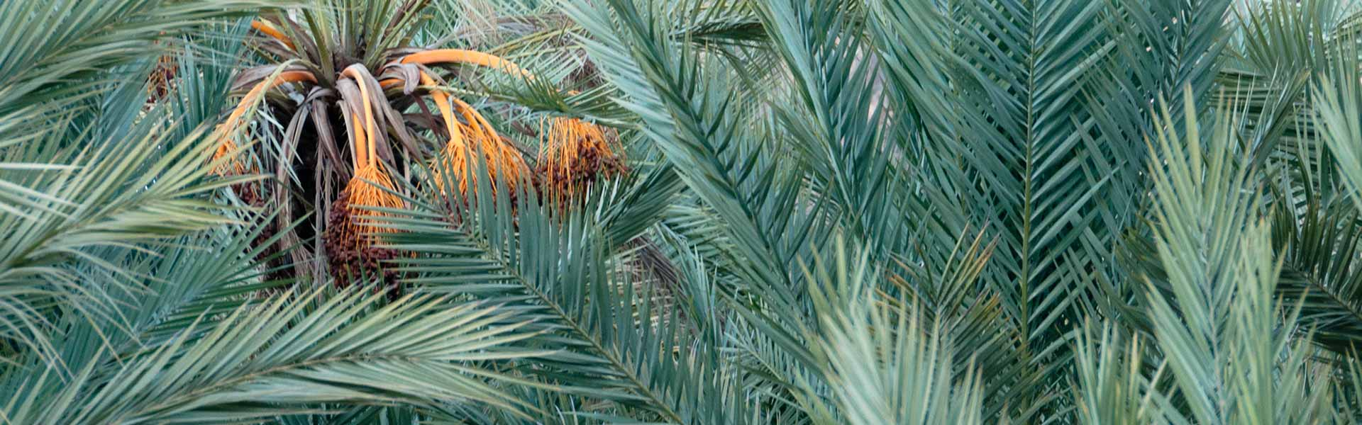 Les palmiers dattiers du Sud Est Maroc