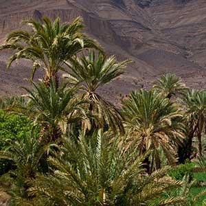 L'oasis de Fint près d'Ouarzazate est un havre de fraicheur et de repos.