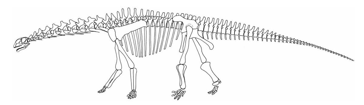 Croquis du squellette du dinosaure Tazouda