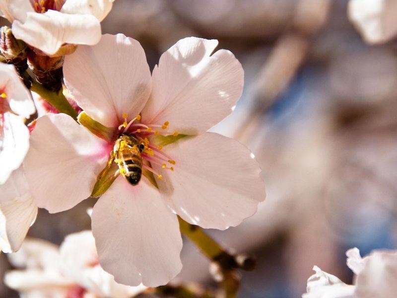 Une abeille sur une fleur d'amandier symbolise le renouveau du tourisme national au Maroc