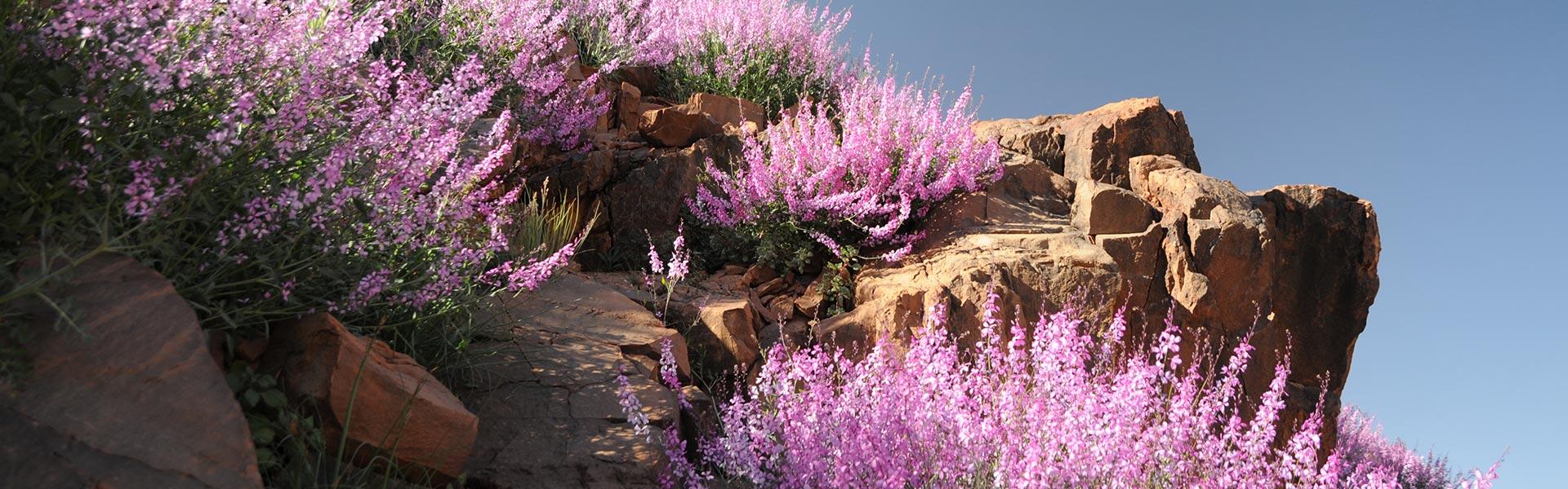 Les fleurs sauvages des montages du haut Atla au Sud Est du Maroc