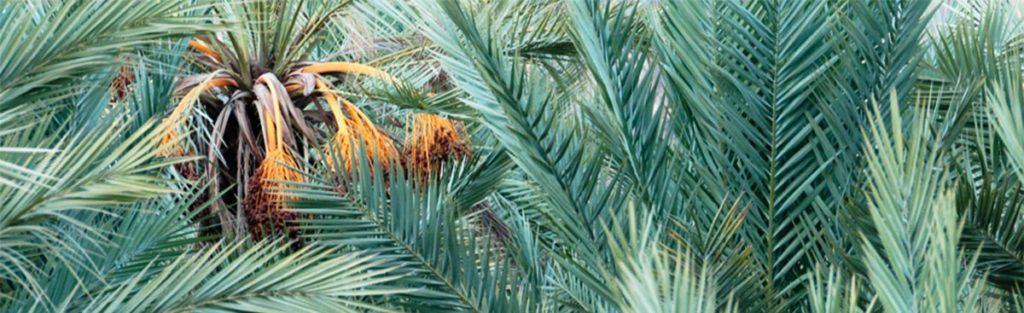 Palmier dattier dans l'oasis de Fint près d'Ouarzazate