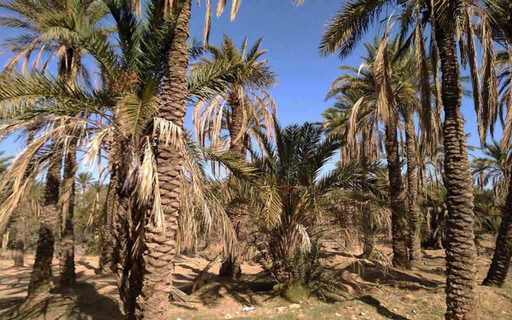 oasis-palmier