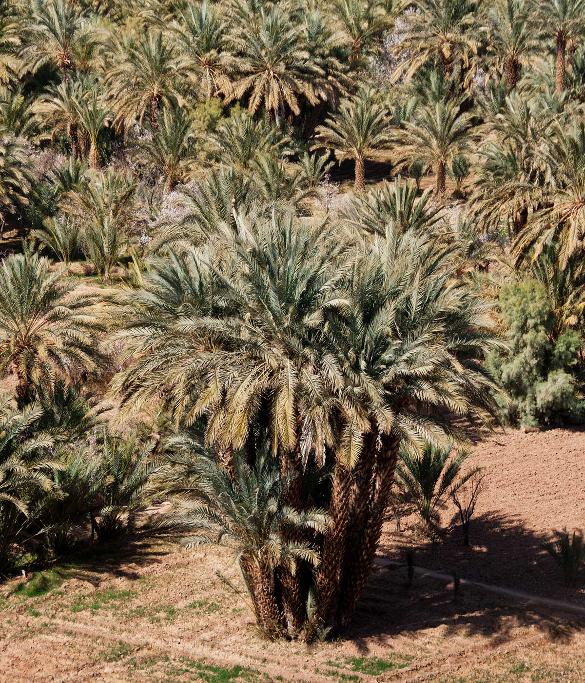 Skoura palm grove