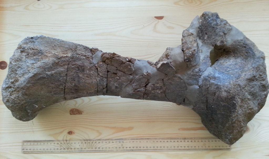 Tazoudasaurus Naimi pubic bone